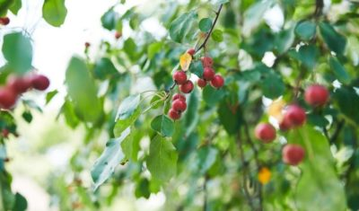 A healthy green decidious tree with red fruit growing in Ohio.