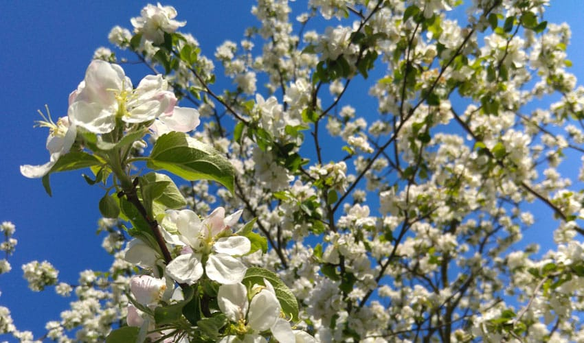spring-flowering trees for northeast ohio