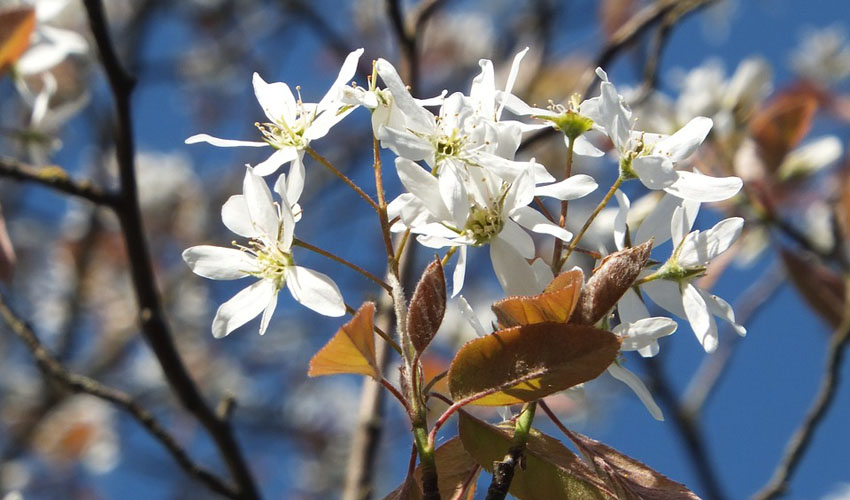Allegheny Serviceberry's white flowers in spring