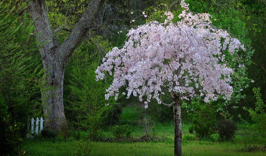 weeping cherry tree in bloom