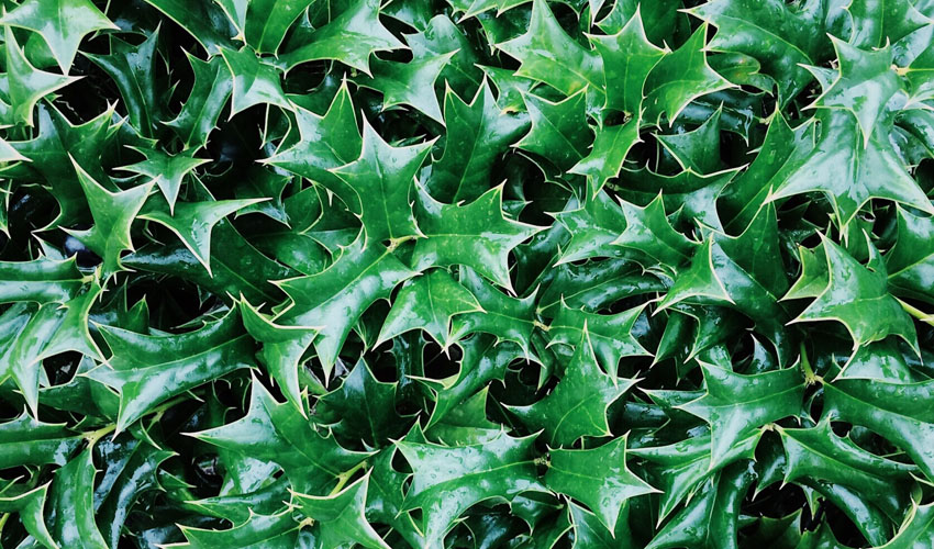holly leaves that have been sprayed with anti-desiccant