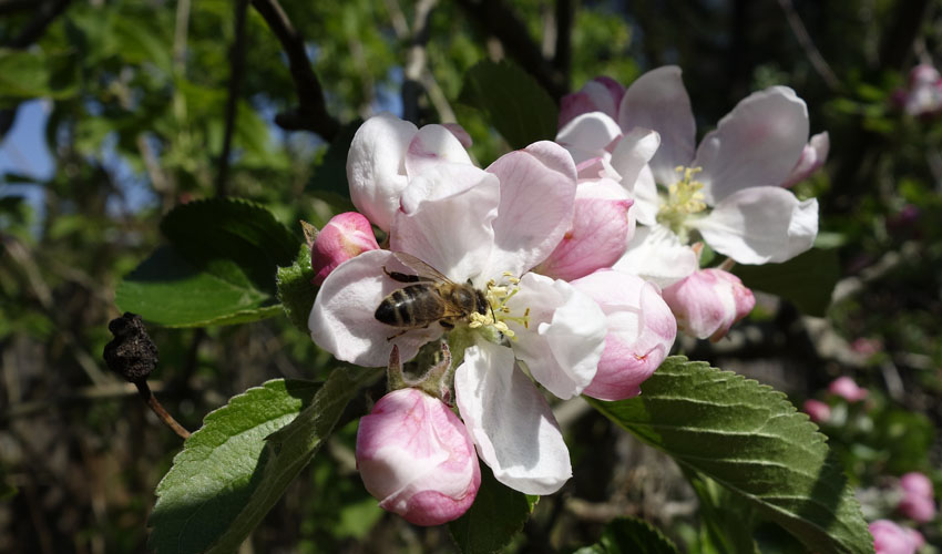 a bee pollinates an apple blossom on an apple tree in Ohio