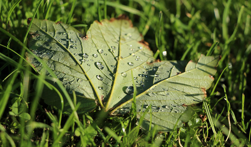 a green maple leaf in grass with drops of water