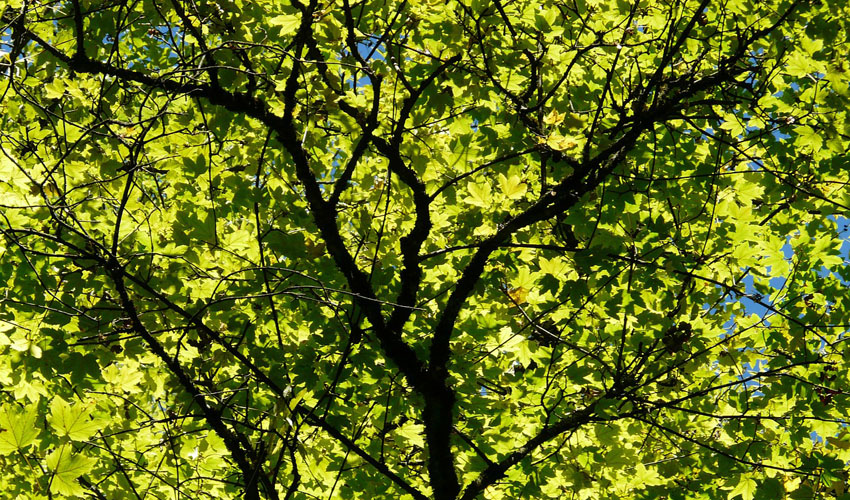 Hundreds of green leaves on a maple tree
