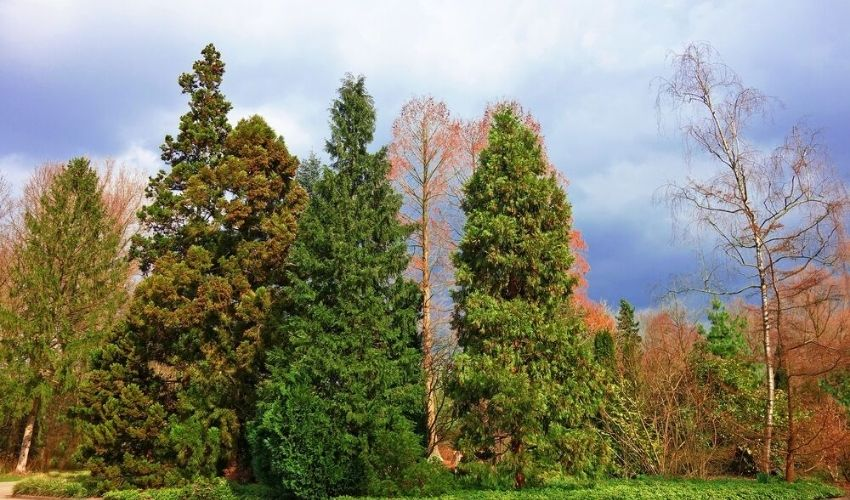 evergreen conifers showing some needle loss