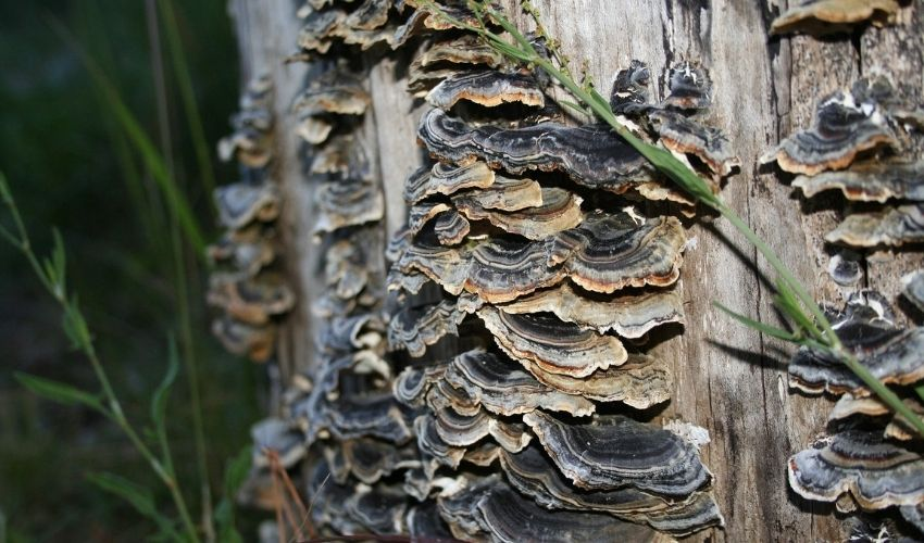Turkey tail fungus on the trunk of a dead tree