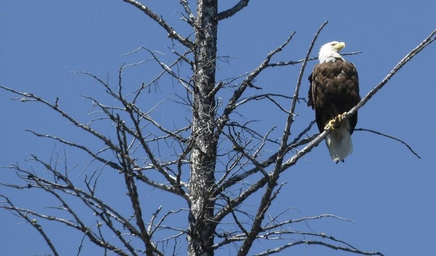A bald eagle perches on the top branches of a snag, or dead tree in Ohio