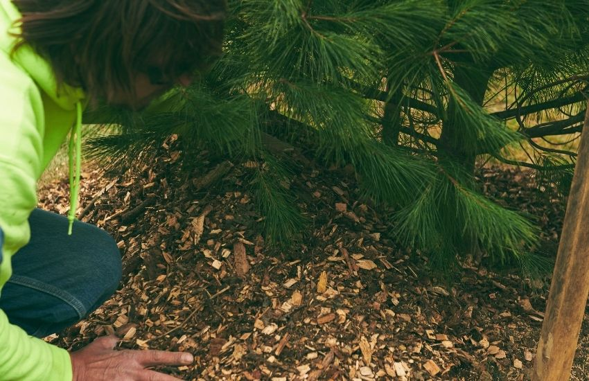 Mulch is placed around a tree by a tree and landscape professional from Independent Tree