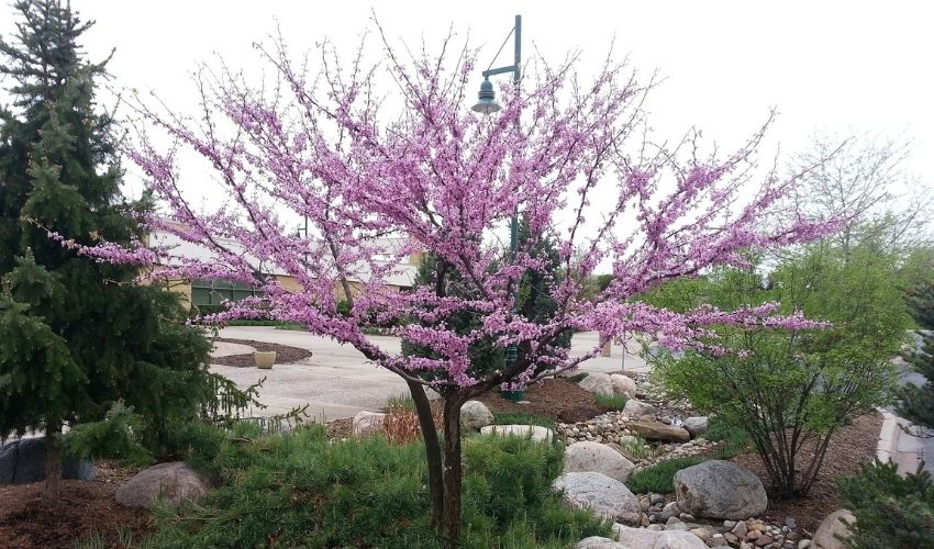 A redbud tree with spring blossoms grows amongst other trees and plants.