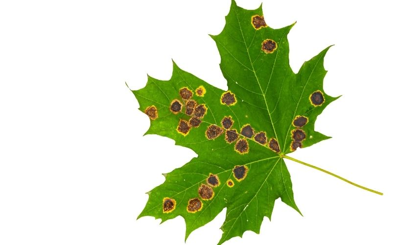 Brown spots surrounded by yellow on a green maple leaf.